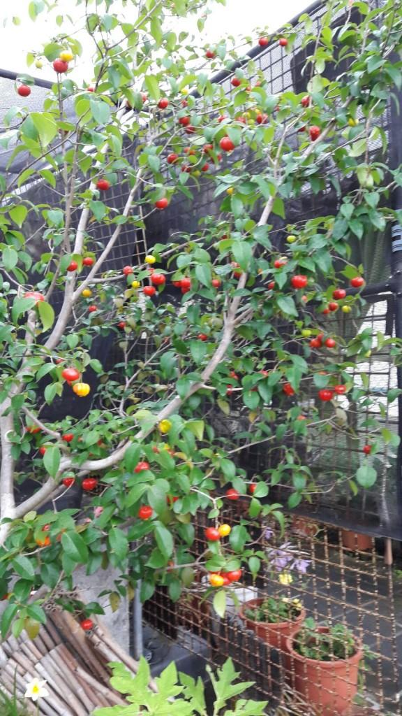 Thailand Cherry